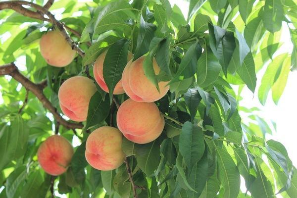 木になる桃