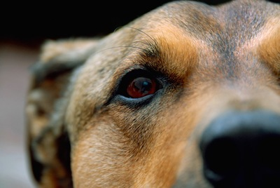 茶色の犬の目と鼻のアップ