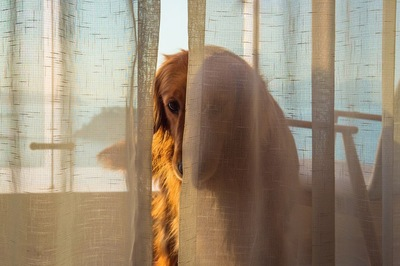 カーテンに隠れるレトリバー