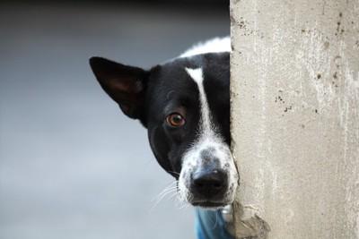 壁の陰からこちらの様子を見る犬