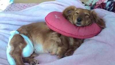 愛犬がエリザベスカラーをしながら寝ているシーン