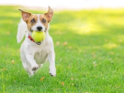 ボールをくわえて走るジャック・ラッセル・テリア