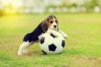 芝生でボールを抱えて遊ぶ犬