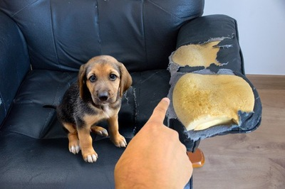 ソファをボロボロにした犬と叱っている手