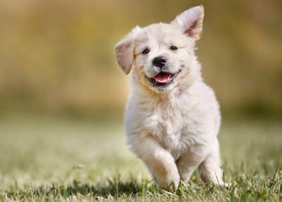 走って来るゴールデンの子犬