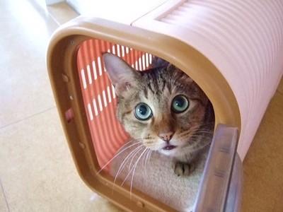 猫 キャリーに入っている こちらをのぞき見している様子