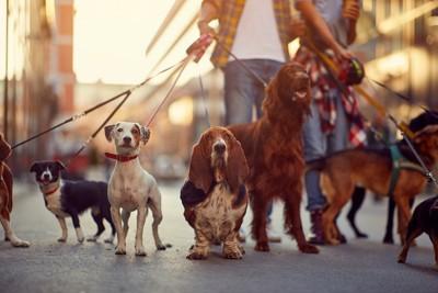 一緒に散歩をする犬の集団