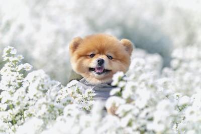 白い花に囲まれたポメラニアン