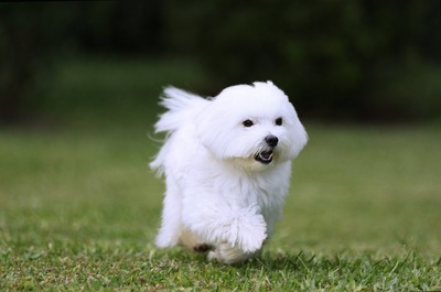 芝生を元気よく走り回る犬