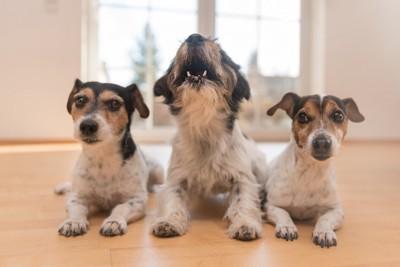 並ぶ三匹の中で一匹だけ吠える犬