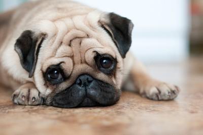 悲しげな表情で伏せるパグ