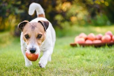 りんごをくわえて走る犬