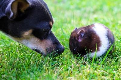 ハムスターの臭いを嗅ぐ犬