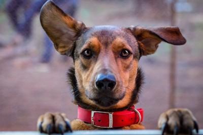 耳が大きい犬