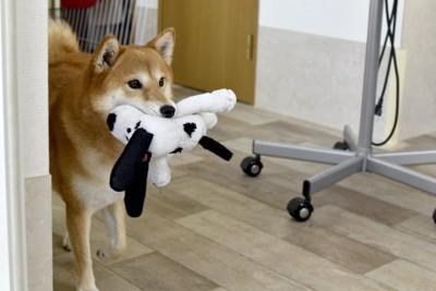 ぬいぐるみを咥えて運ぶ柴犬