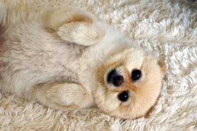 お腹を見せて寝転んでいる犬
