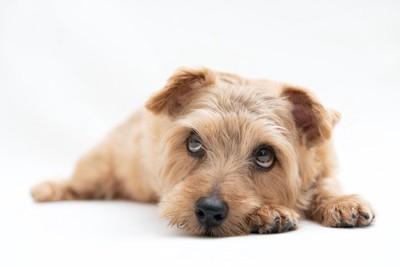 床に伏せるテリア犬