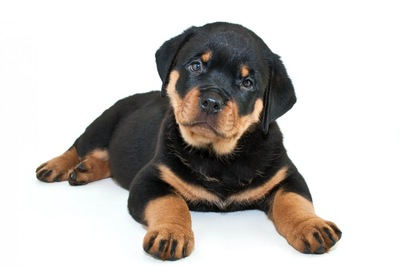 伏せの姿勢のロットワイラーの子犬