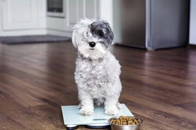 体重計に乗っている犬とご飯