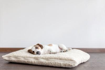 大きな白いクッションの上で寝る犬