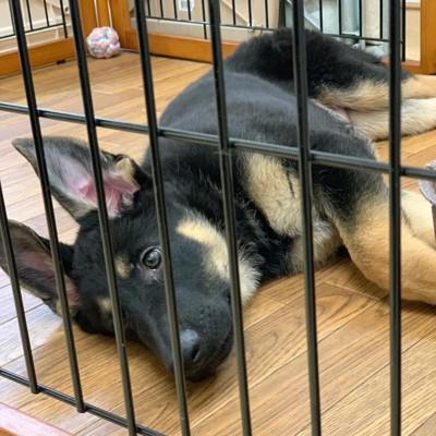 寝そべるシェパード犬