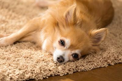 眠そうな顔で横になっているチワワ