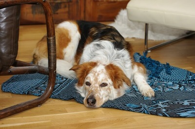 お疲れの老犬