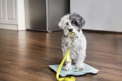 体重計に乗っている犬