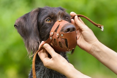 革製の口輪を着ける垂れ耳の犬
