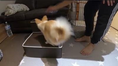 ドッグステップに飛び乗る犬