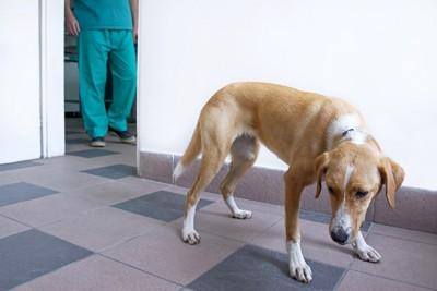 獣医に怯える茶色い犬