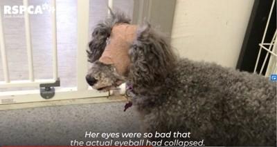 目に包帯を巻いた犬