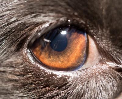 犬の目のアップ