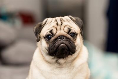 不満そうな表情のパグの顔のアップ