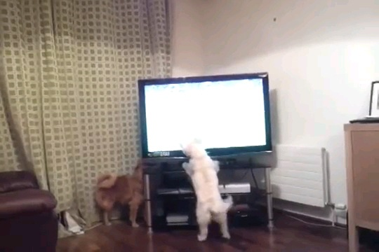 テレビの後ろに茶色の犬