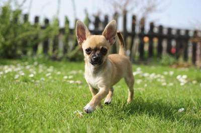 芝生を歩くチワワ