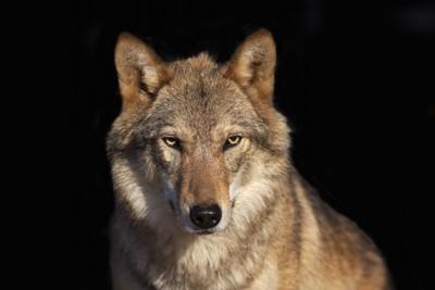 黒い背景のオオカミ