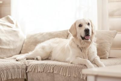 ソファーに乗ってくつろいでいる犬