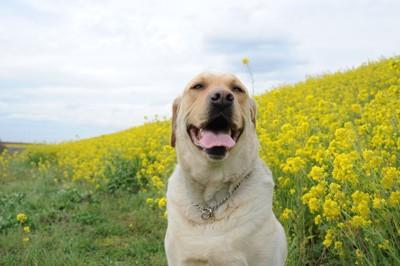 黄色い花と笑顔のラブラドール