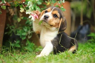 花にじゃれて遊ぶビーグルの子犬