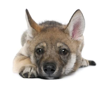 伏せるオオカミの仔