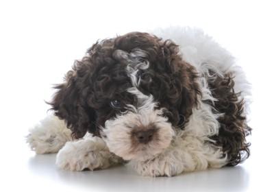 うずくまるロマーニャウォータードッグの子犬