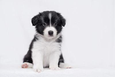 おすわりするボーダーコリーの幼犬