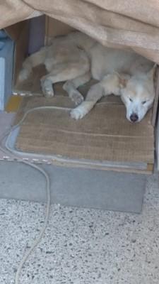Aさんの犬寝ている状態 Aさん提供のもの