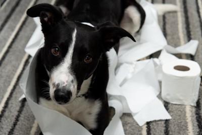 トイレットペーパーを散らかして遊ぶ犬