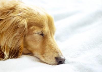 寝ているダックスの顔