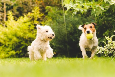 ボールをくわえた犬と横を向いて走る犬2匹