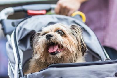 ペットカートの中から見上げる犬
