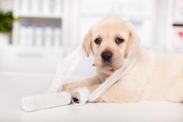 包帯を巻かれた子犬