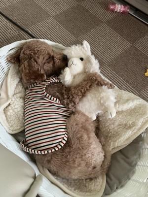 ぬいぐるみを抱きしめて寝るプードル